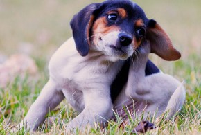 Why Does My Dog Scratch So Much?: How Diet Can Cause Itchy Skin