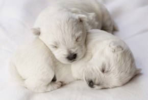 Canine Herpesvirus: How Canine Herpesvirus Affects Pregnancy