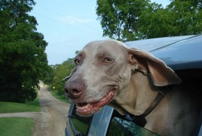 Treating Motion Sickness in Cats and Dogs