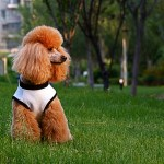 hypoallergenic poodle