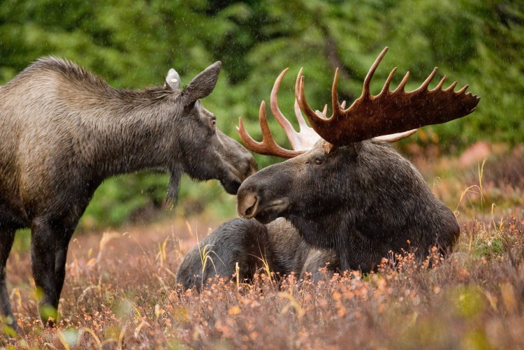 Moose in Acadia National Park