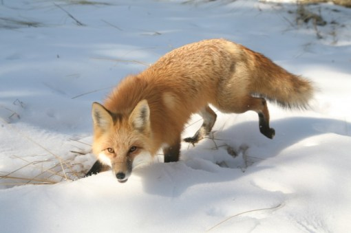 The red fox (Vulpes vulpes). | PARENTS ALLIANCE OF PRINCE GEORGE'S COUNTY, MARYLAND