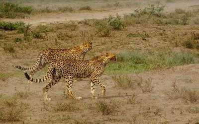 Cheetah (Acinonyx jubatus). | Help Change The World. The Future Of The County Is Now.