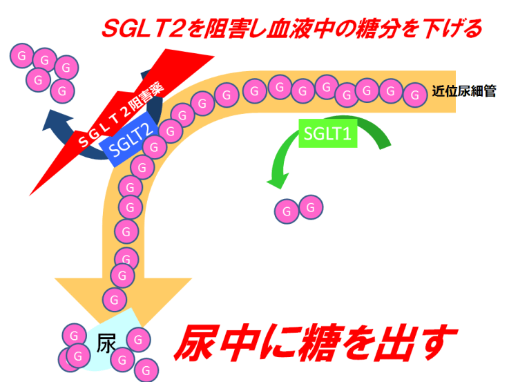 SGLT2阻害【スーグラ・フォシーガ】