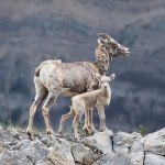 philip kantischer baby big horned sheep baby sheep mothers instincts photography fine art photography