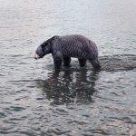 philip kanwischer photography animals bears falling jasper park jasper national park calgary alberta black bear photography