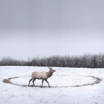 Philip kanwischer photography elk wild free photoshop photo manipulation elk