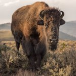 Philip Kanwischer Yellowstone Wildlife photography bison