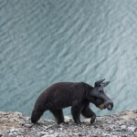 Alaska philip kanwischer photography animals bears falling jasper park jasper national park calgary alberta black bear photography manipulated photoshop animals