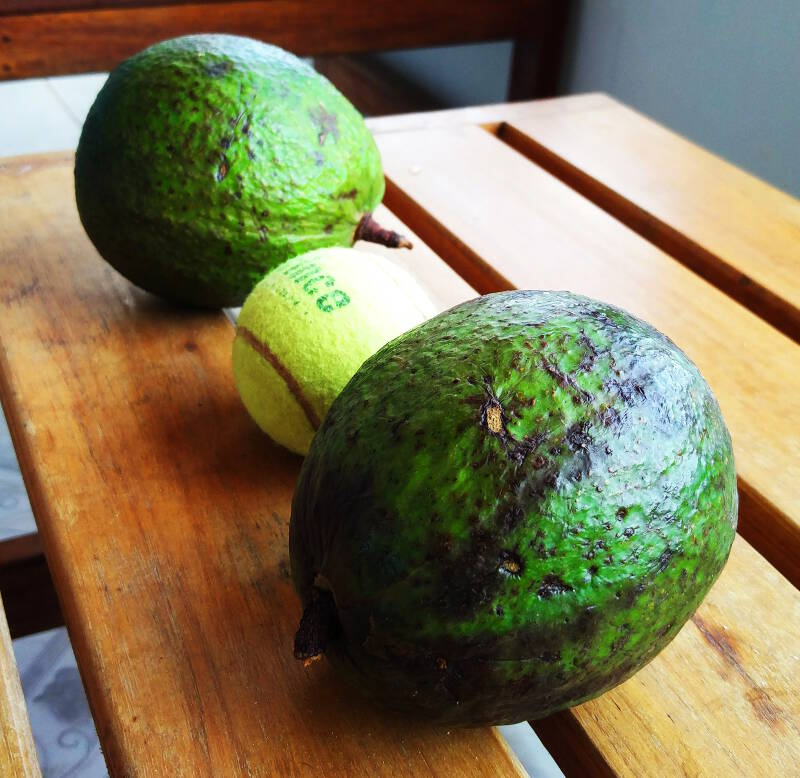 Avocados beside a tennis ball, these are small ones!