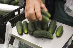 Admirable Refrigerator Nutrition Seedless Baby Cucumbers How Long Do Cucumbers Last Water How Long Do Cucumbers Last