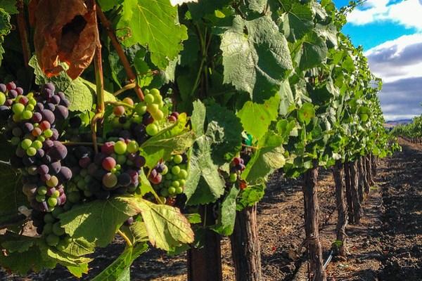 Wine grapes at the Enriquez Estate