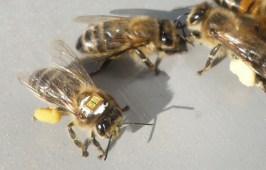A honeybee tagged with an RFID microchip for tracking its movements. Photo © Science/AAAS.