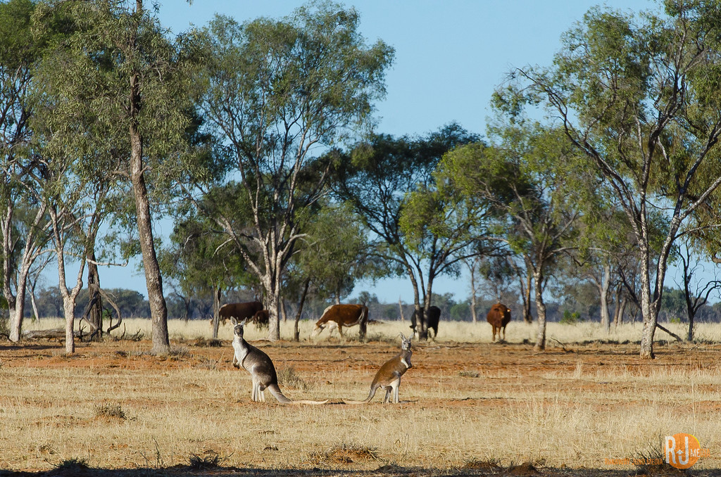 Kangaroos in the Outback