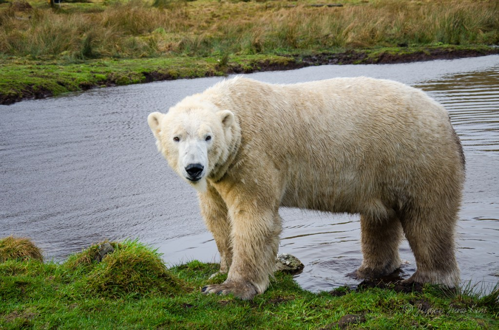 Meeting polar bears in Highland Wildlife Park