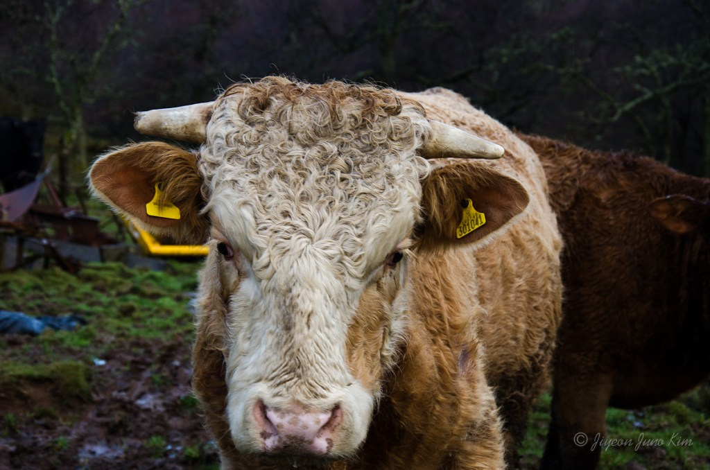 Highland cattle curly hair