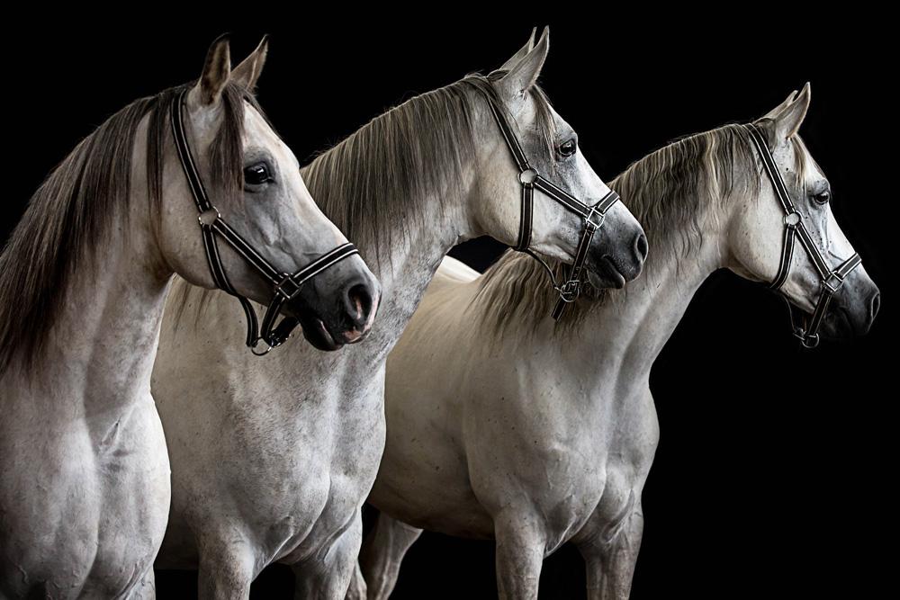 Pferde16