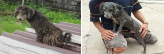 Phuket's Soi Dog – Your Help Is Needed Today