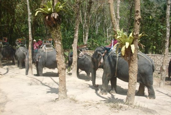 Phuket Governor limits elephant's working hours