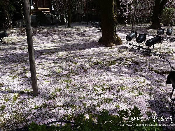 [[京都//遊樂]] 平安神宮 - 櫻花開的太放肆了!