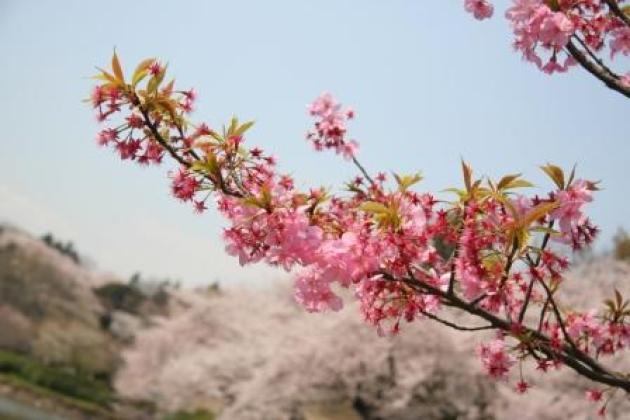 還是櫻櫻櫻櫻櫻…奢侈的櫻花百選大公園… in 橫濱
