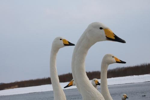 遇見北海道的飛禽…貪吃的天鵝和發情期的丹頂鶴