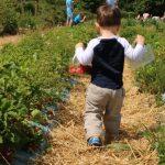Strawberry Picking at Crockford Bridge Farm