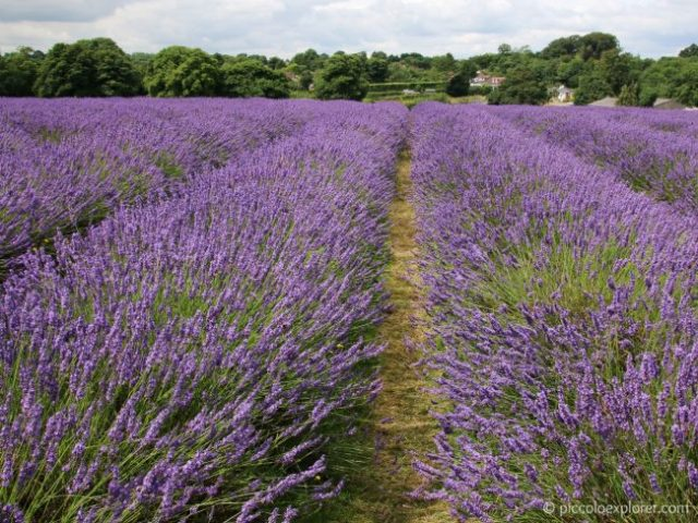 Mayfield Lavender Gardens, Surrey