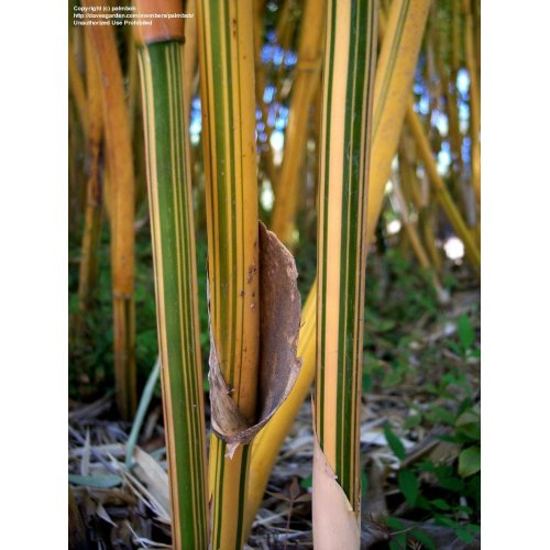 Medium Crop Of Alphonse Karr Bamboo