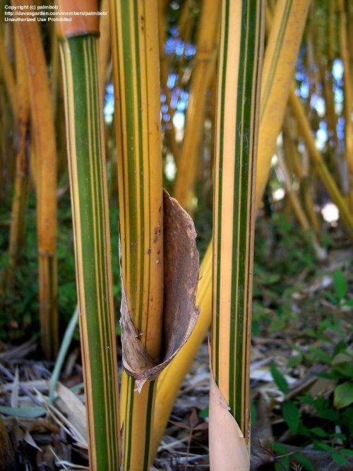 Dainty Sourn California Plantfiles Hedge Bamboo Multiplex Alphonse Karr Bamboo Wikipedia Alphonse Karr Bamboo Price Close Up Culms