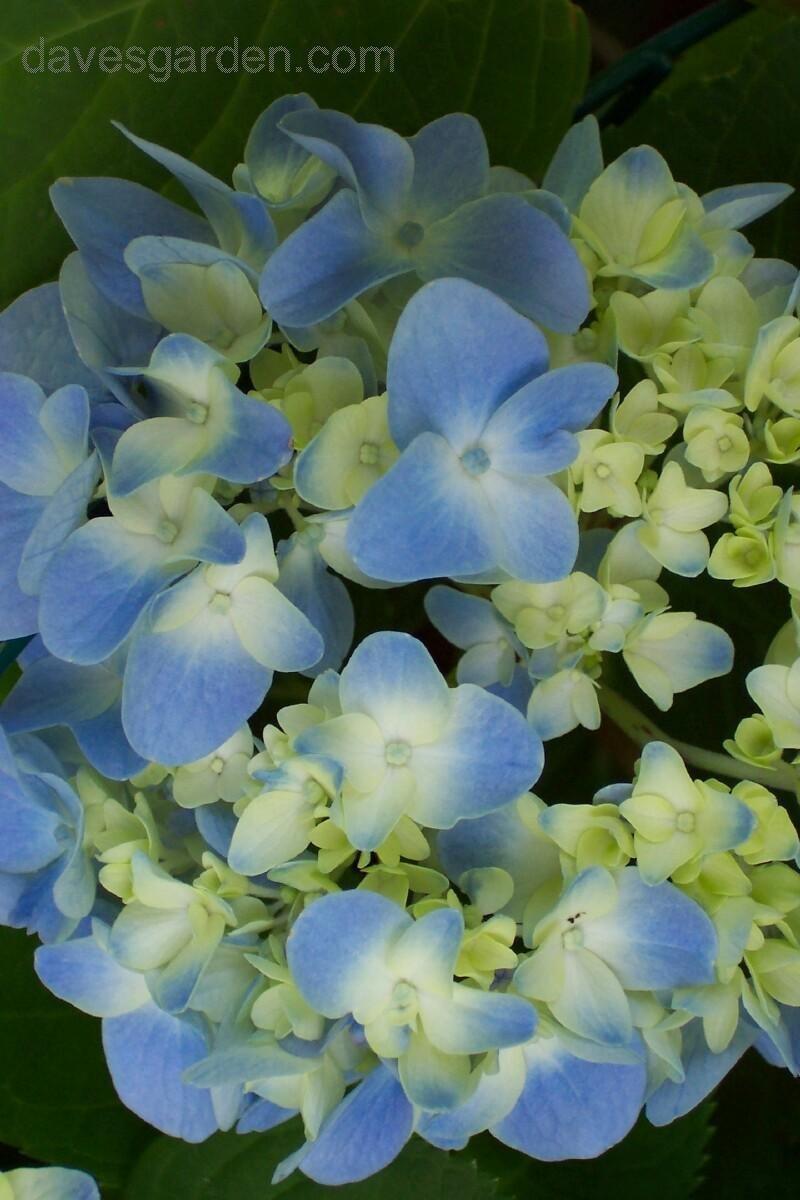 Gracious Budding Out Nikko Blue Bloom Plantfiles Bigleaf French Mophead Nikko Blue Hydrangea Spacing Nikko Blue Hydrangea Bloom Time houzz 01 Nikko Blue Hydrangea