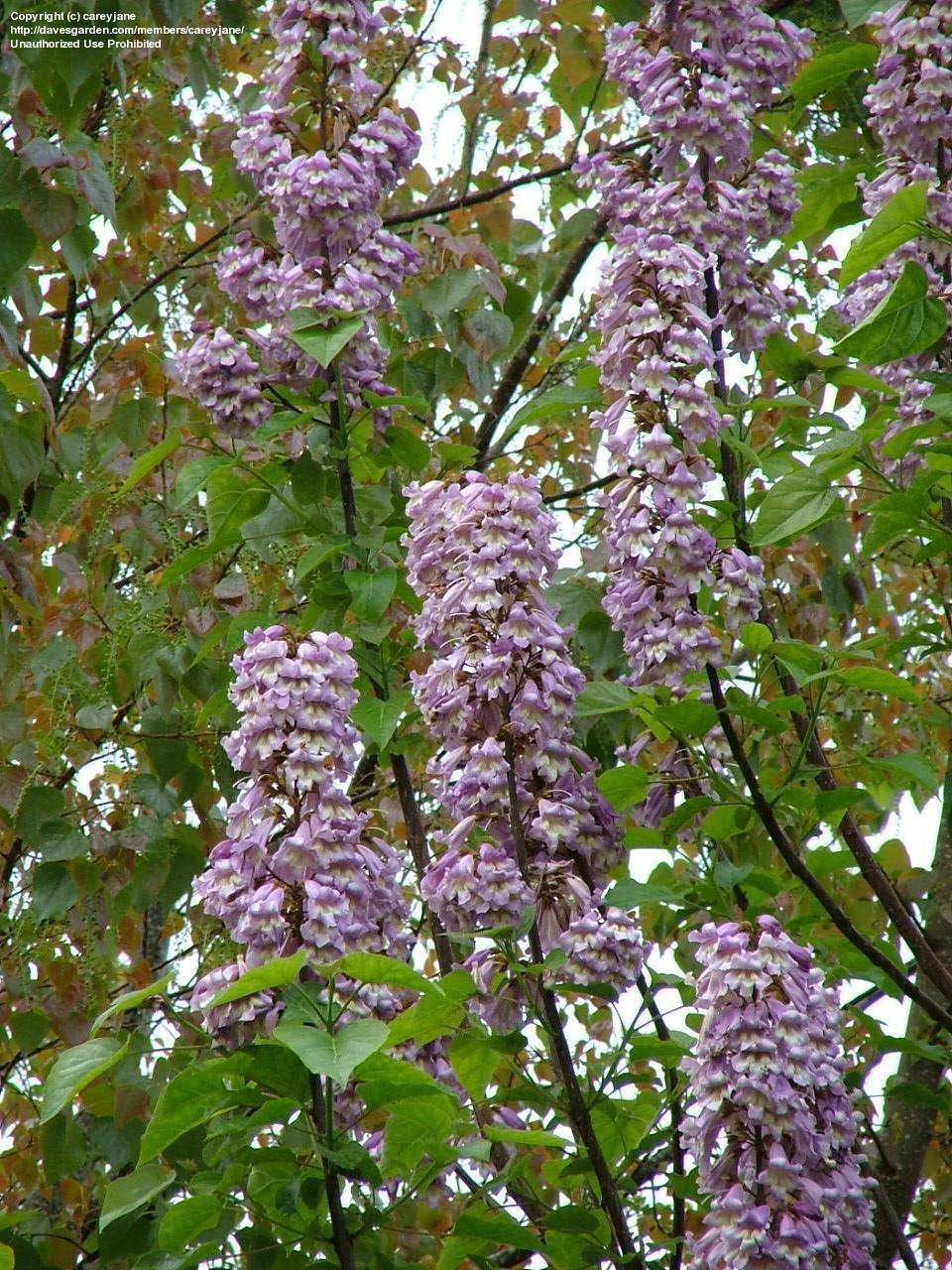 Peculiar April Plantfiles Paulownia Empress Princess Tree Royal Empress Trees Australia Royal Empress Trees Canada Prolific Flowering houzz 01 Royal Empress Trees