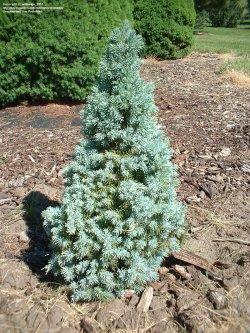 Small Of Globe Blue Spruce