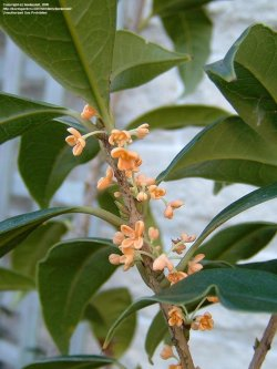 Small Of Fragrant Tea Olive