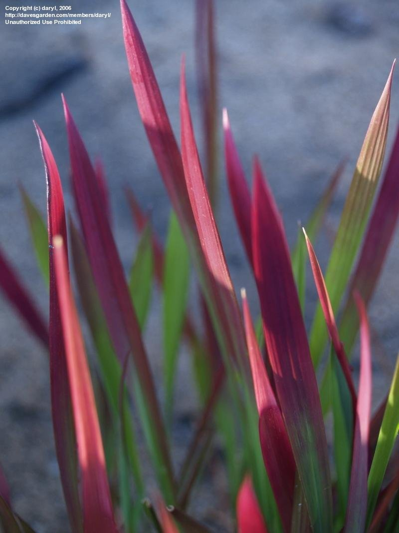 Fullsize Of Japanese Blood Grass