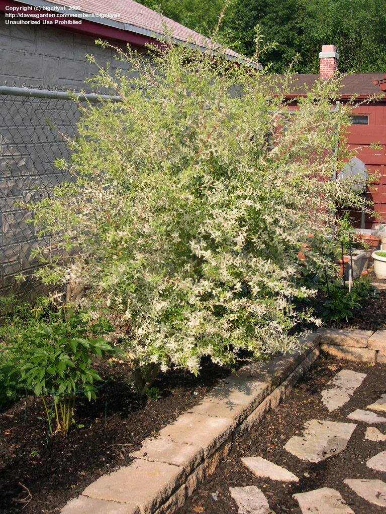 Large Of Dappled Willow Tree