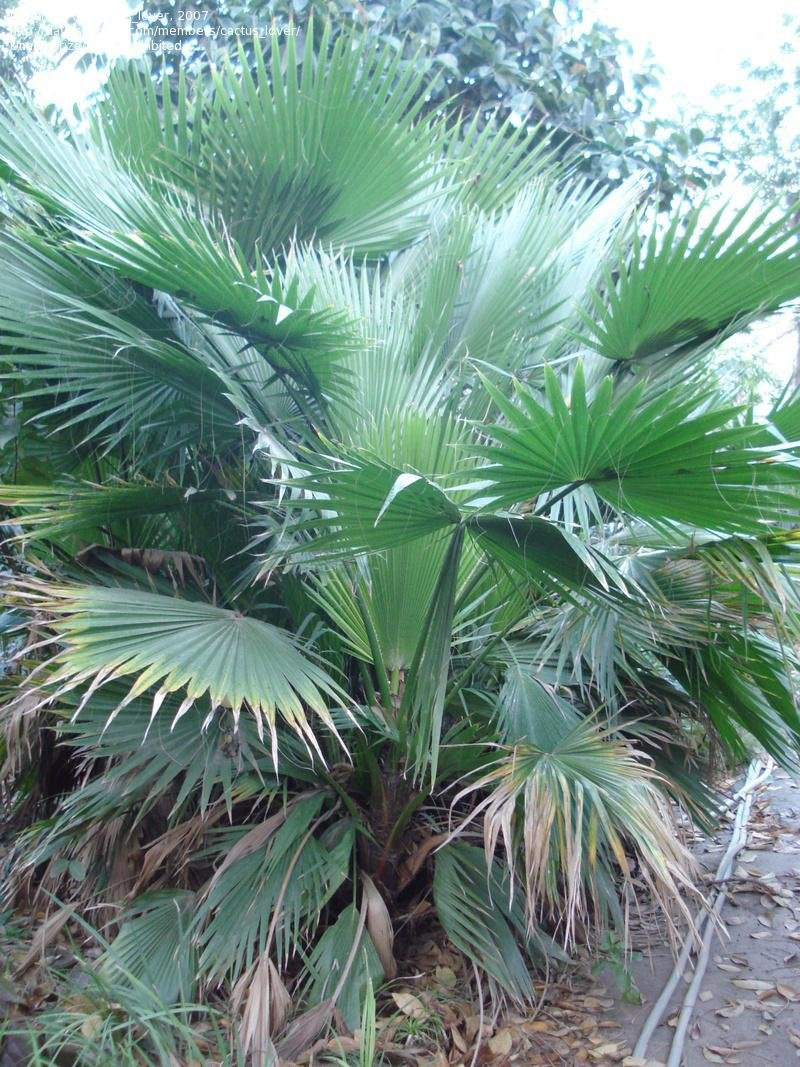 Fullsize Of Mexican Fan Palm
