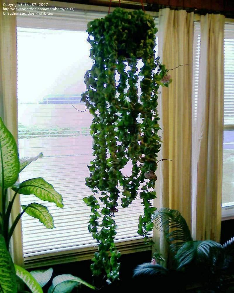 Peculiar Hoya Rope Plantfiles Wax Hindu Indian Angel Hindu Rope