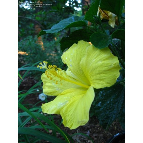 Medium Crop Of Hibiscus Yellow Leaves
