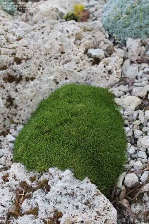Medium Of Irish Moss Ground Cover