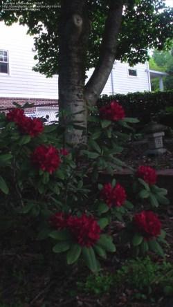 Small Of Nova Zembla Rhododendron