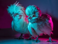 Chic Chicks ©Dan Bannino - Crew1