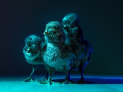 Chic Chicks ©Dan Bannino - Little ones2