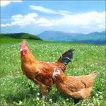疲労回復には鶏ムネ肉のイミダペプチドを摂取してダイエットも効果的に!