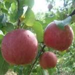 りんごの種類人気ランキングのおいしい品種!!特徴と甘味・酸味・香りで選ぶ❣