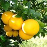 グレープフルーツの種類と色で美味しい品種と大きいサイズ!!甘いは人気❣
