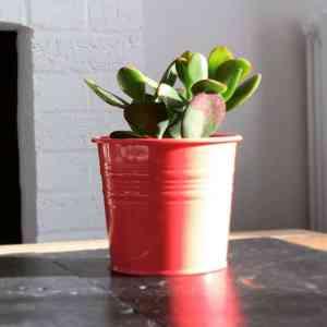 Succulent in a coral pot