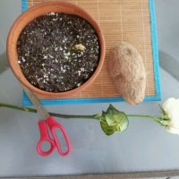 Regrow Your Roses in a Potato