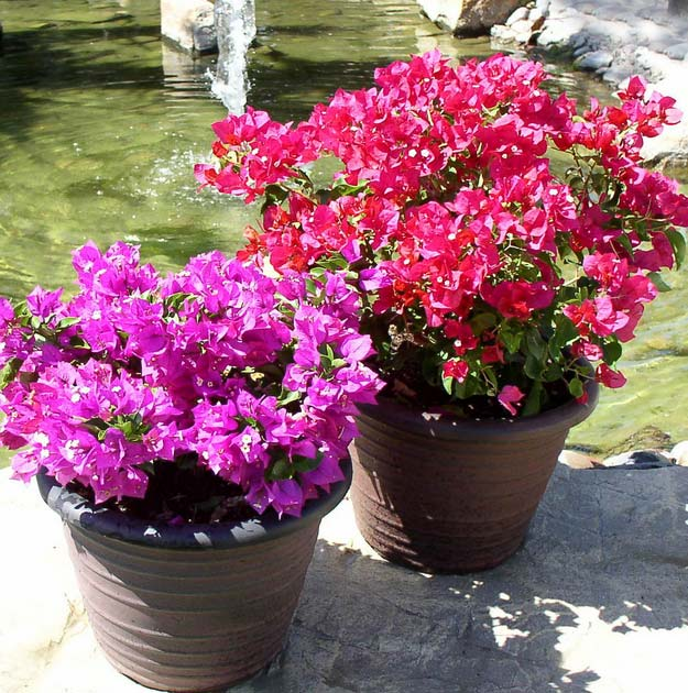 Bougainvillea |Types of Summer Flowers