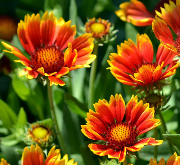 Gaillardia | Types of Summer Flowers